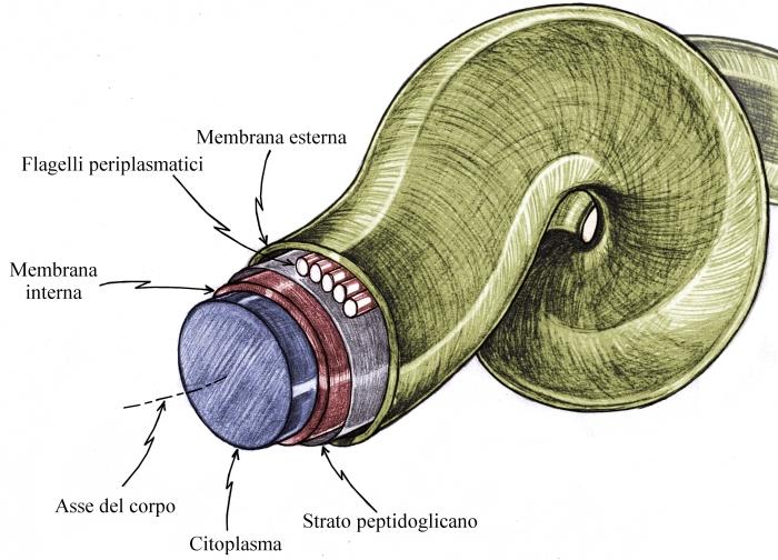 spirocheta 5