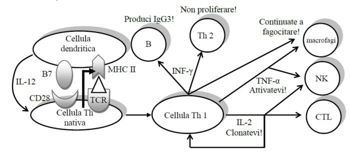 La risposta delle cellule T nella diagnosi della malattia diLyme