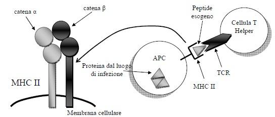 presentazione antigene