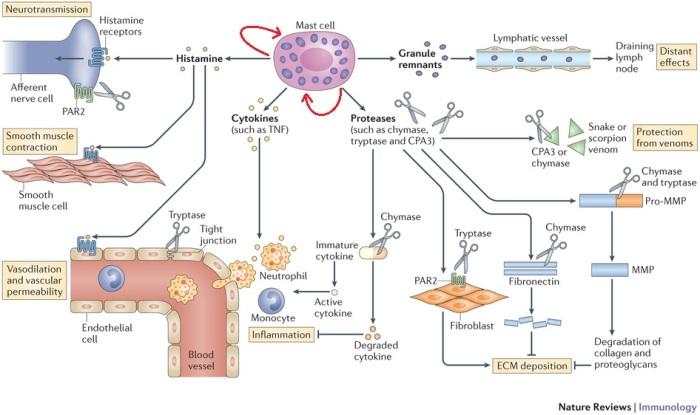 mastociti-2