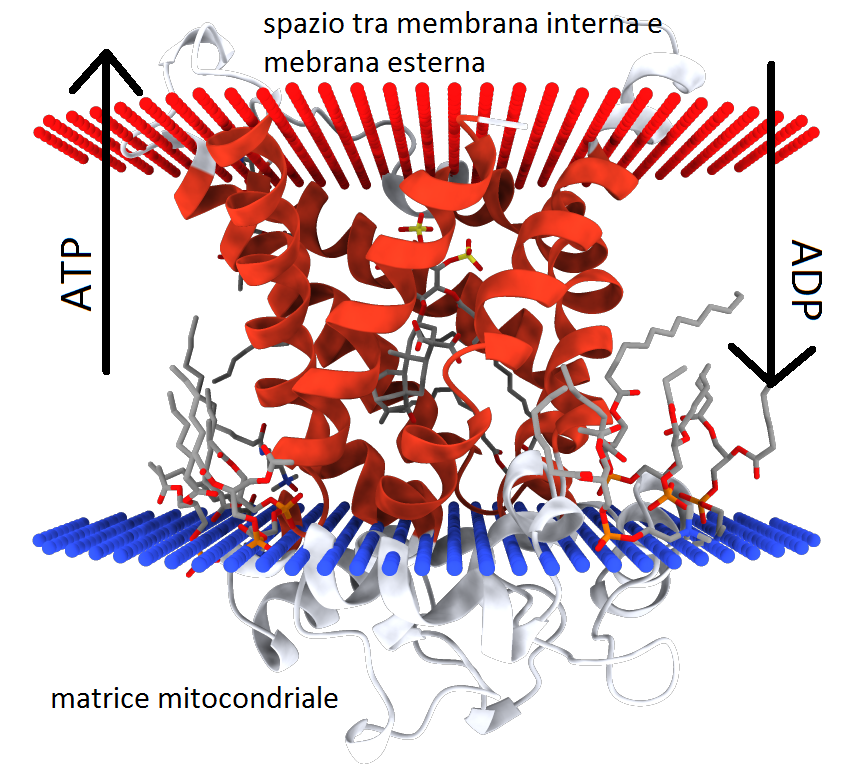 translocase.png