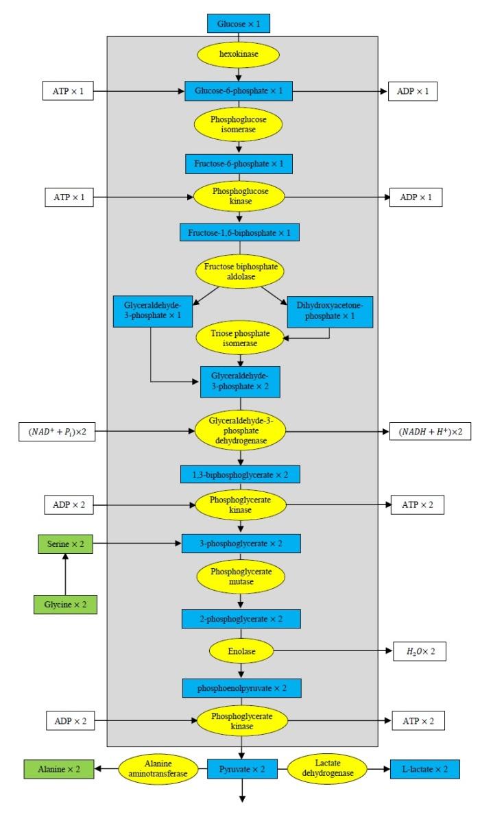 Glicolisi e amminoacidi