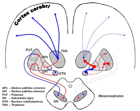 Nigro-striatal pathways.jpg