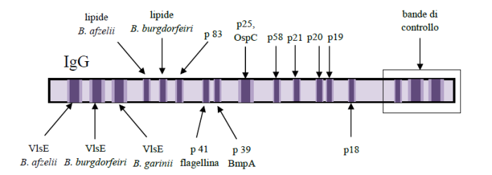 Western blot per malattia diLyme