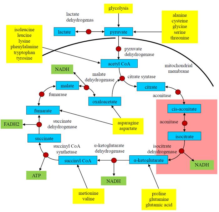 La patofisiologia dellafatica?