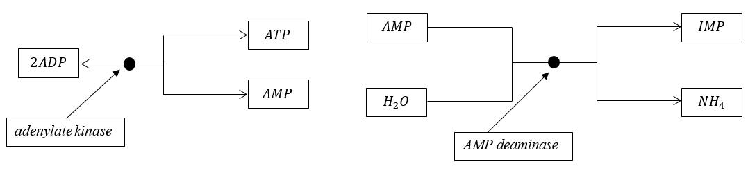 adenylate-kinase-and-amp-deaminase1.png