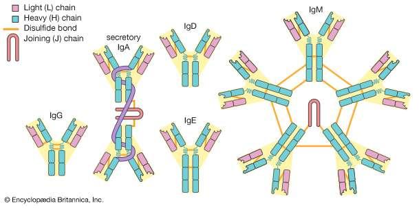 False positive IgM tests in infectious and autoimmunediseases