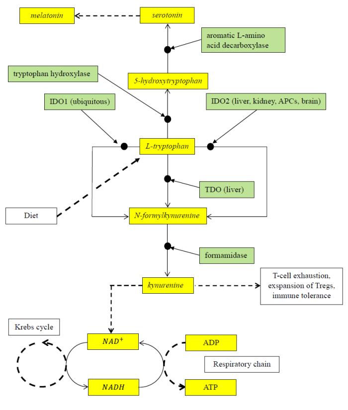 Tryptophan metabolism.png