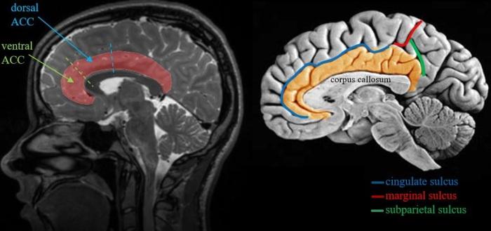 cingulate cortex and sulci